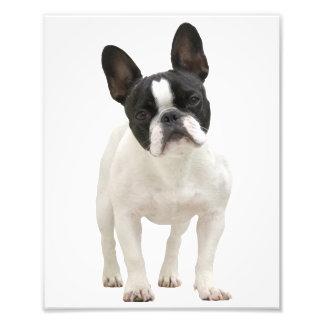 Foto linda del dogo francés, idea del regalo fotografías