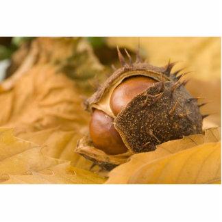 Foto macra del Conker de Brown Escultura Fotografica