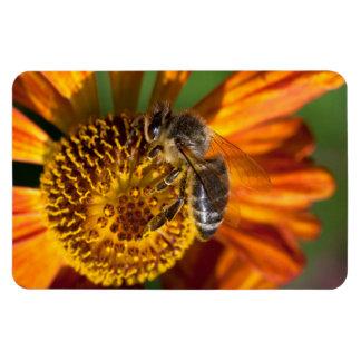 Foto occidental de la macro de la abeja de la miel imanes de vinilo