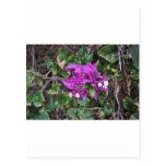 Foto púrpura del Bougainvillea Postal