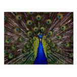 Foto real brillante del pavo real postales