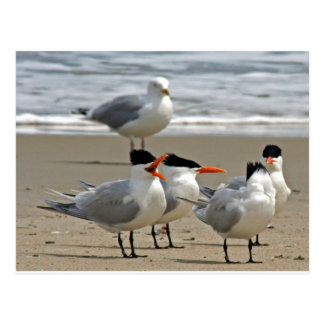 Foto real de las golondrinas de mar tarjeta postal