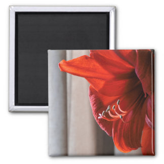 Foto roja de la macro de la flor del Amaryllis del Imán Cuadrado