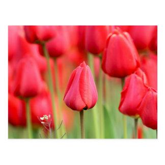 Foto roja de los tulipanes