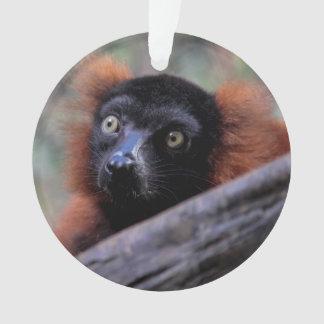 Foto roja del animal de la fauna del Lemur
