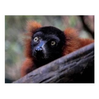 Foto roja del animal de la fauna del Lemur Tarjetas Postales