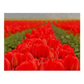 Foto roja del campo de los tulipanes