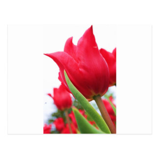 Foto roja del tulipán postales