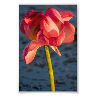Foto rosada de la flor de Lotus Cojinete