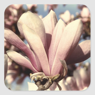 Foto rosada de la flor del árbol de la magnolia colcomanias cuadradas personalizadas