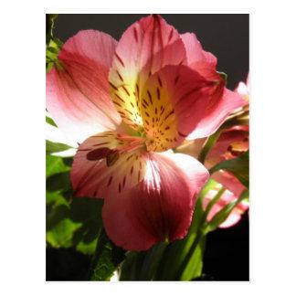 Foto rosada de las flores de los lirios de la flor postal