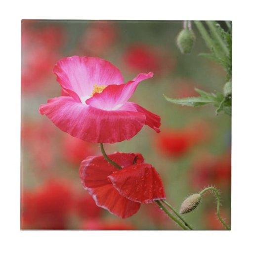 Foto rosada y roja de las amapolas tejas  cerámicas