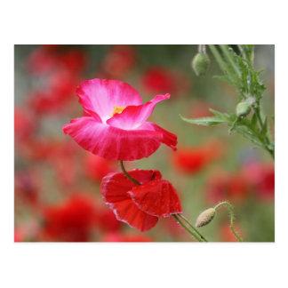 Foto rosada y roja de las amapolas postal