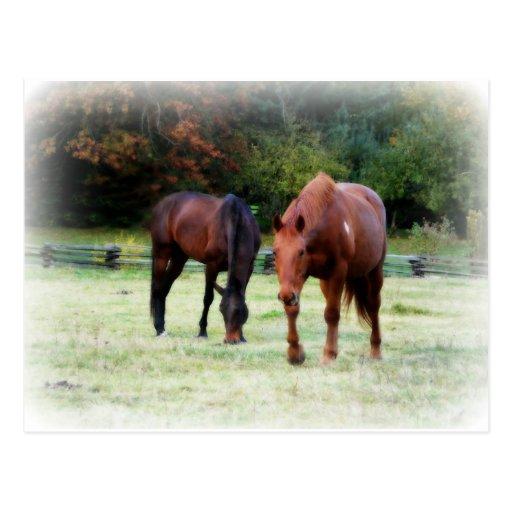 Foto suave de dos caballos de Brown Tarjeta Postal