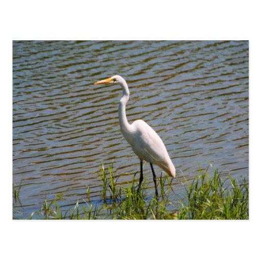 Foto tropical del pájaro del Egret blanco Postal
