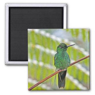 Foto verde del colibrí imanes