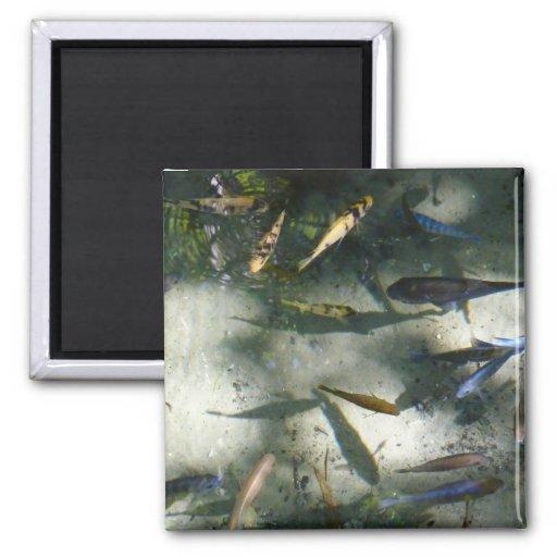 Fotografía animal colorida del estanque de peces imán cuadrado