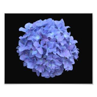 Fotografía azul de la floración del Hydrangea Fotos
