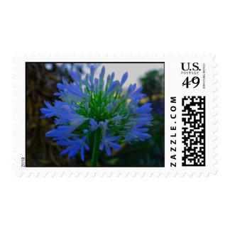 Fotografía azul de la original del Agapanthus