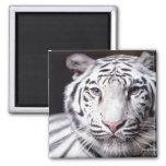 Fotografía blanca del tigre de Bengala Iman Para Frigorífico