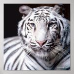 Fotografía blanca del tigre de Bengala Impresiones