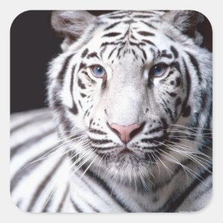 Fotografía blanca del tigre de Bengala Calcomanias Cuadradas