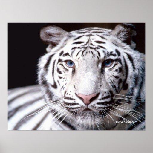 Fotografía blanca del tigre de Bengala Poster