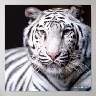 Fotografía blanca del tigre de Bengala Póster