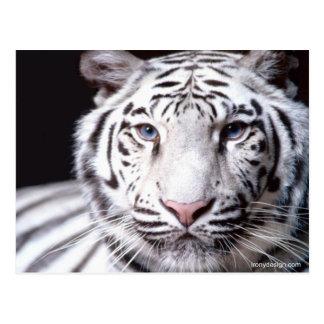 Fotografía blanca del tigre de Bengala Postal