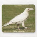 Fotografía blanca rara de la fauna del cuervo alfombrilla de raton