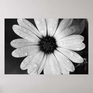 Fotografía blanco y negro de la margarita africana póster