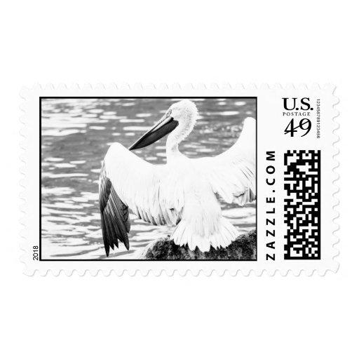 Fotografía blanco y negro del pelícano sello