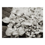 Fotografía blanco y negro macra del Hydrangea Póster