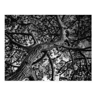 Fotografía canadiense de la bella arte del árbol postal