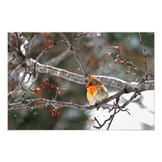 Fotografía - cardenal de sexo femenino en nieve fotografías