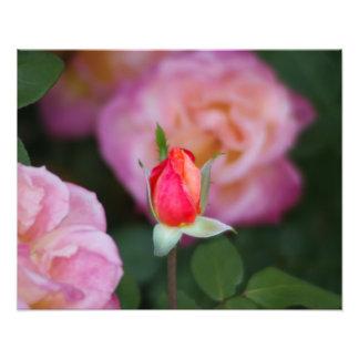 Fotografía color de rosa rosada de la flor del bro fotografia