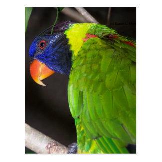 Fotografía colorida del loro de Lorikeet del arco Postal