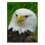 Fotografía de Eagle - Eagle calvo norteamericano Tarjetas Postales