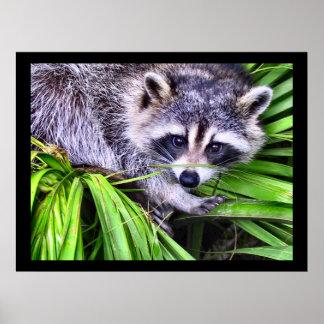 Fotografía de la fauna del mapache poster