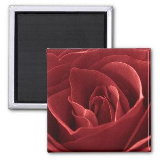 Fotografía de la macro del rosa rojo imanes