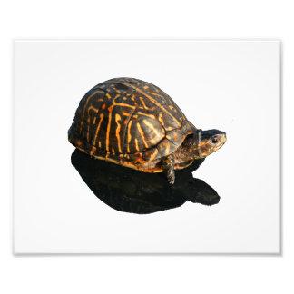 Fotografía de la tortuga de caja de la Florida con