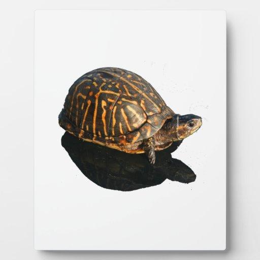 Fotografía de la tortuga de caja de la Florida con Placas Para Mostrar