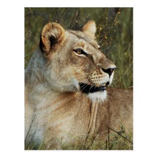 Fotografía de Leo del Panthera de la leona Postal
