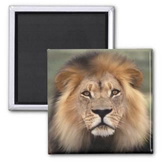 Fotografía de los leones imán de nevera