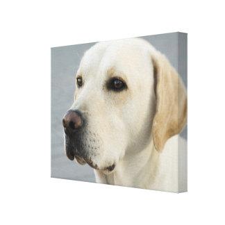 Fotografía de oro del labrador retriever impresión en lienzo