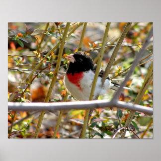 Fotografía de pecho rojo del ~ del pájaro por el ~ póster