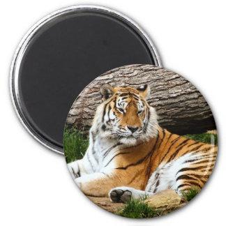 Fotografía de reclinación del tigre hermoso imán redondo 5 cm