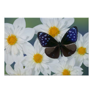 Fotografía de Sammamish Washington de la mariposa  Posters