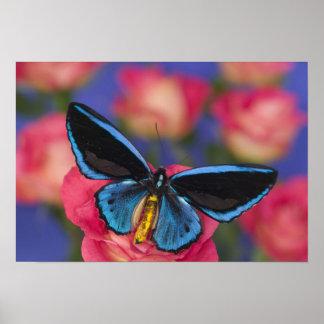 Fotografía de Sammamish Washington de la mariposa Poster