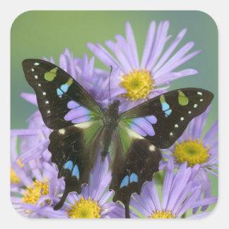 Fotografía de Sammamish Washington de la mariposa  Pegatinas Cuadradases